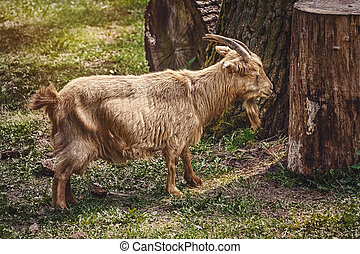 Goat on the Grass - Goat with big horns on the grass