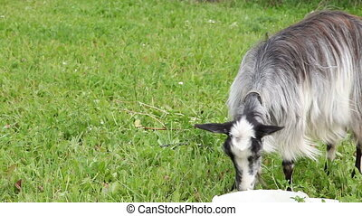 Goat on the grass - Nanny goat grazing in the field