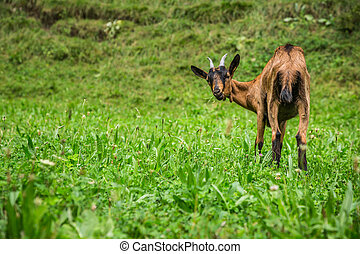 Goat on the green summer meadow