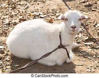 goat on the nature