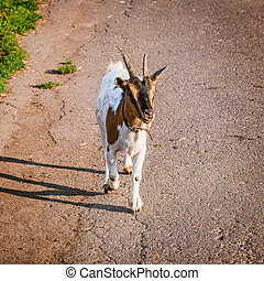 Goat on the road at sunset time.