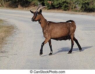 goat on the road, south Bohemia. Czech Republic