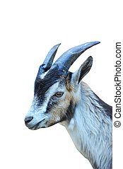 Goat on white
