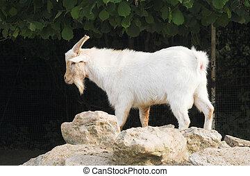 goat over stones