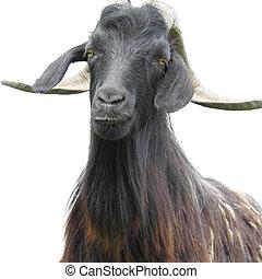 Goat over white