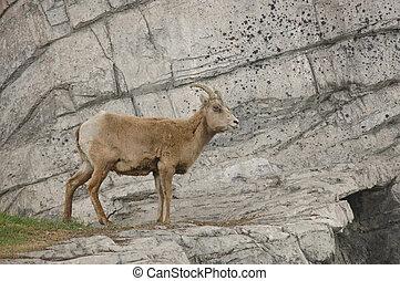 goat, på, a, klippa