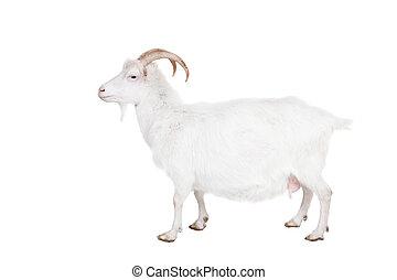 goat, på, a, vit fond