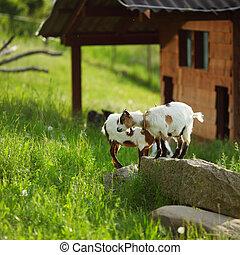 goat, på, grönt gräs