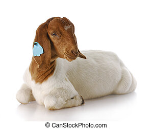 goat - purebred south african boer goat doeling with...