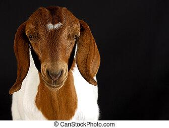 goat portrait on black background - room for copyspace -...
