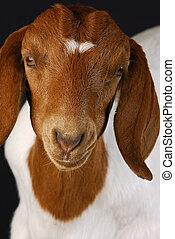 goat portrait - female goat doeling portrait on black...