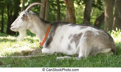goat resting on the grass