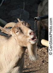 goat, sediento