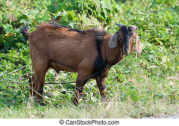 Goat - Single goat in the farm with field background.