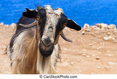 Goat staring at the camera at Crete island in Greece