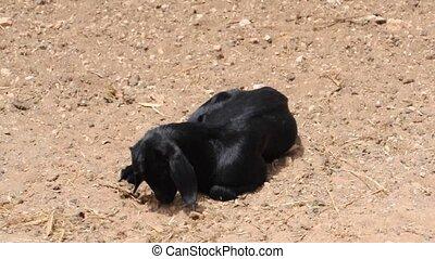 Goat - Fuerteventura Goat