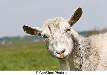 goat - agriculture series: portrait of she-goat on the...