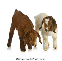 goat twins - two south african boer goat twins on white...