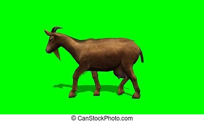 goat walking - green screen