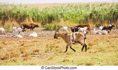 Goat Walking In the Meadow