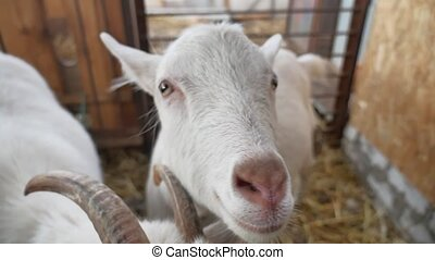 goat white cattle funny. goat on farm Agriculture farming -...