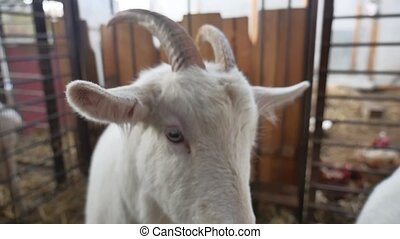 goat white funny cattle. goat on farm Agriculture farming -...