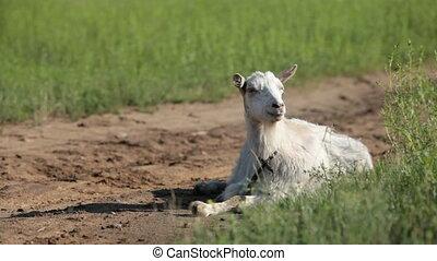 Goat - White goat on a pasture