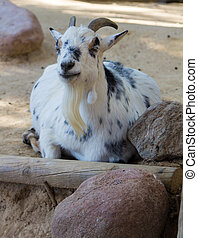 Goat white with black spots