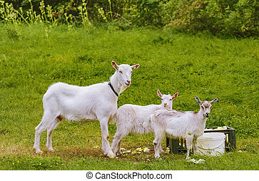 Goat with goatlings - Goat with two goatlings near their ...