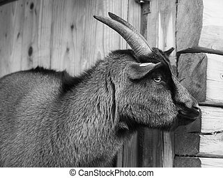 Goat with horn in black and white