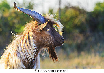 goat with long hair and long horns