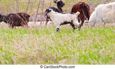 Goatling are grazing in a meadow