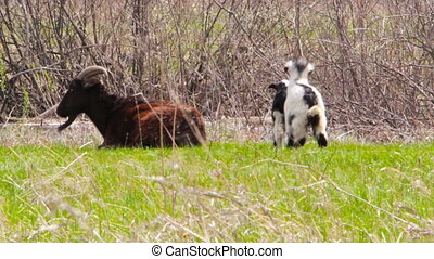 Goatling are playing on a meadow