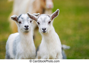 goatling curiosity - pair of curiosity goatlings, kids