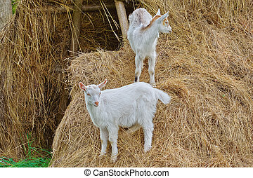 Goatlings on a Hay