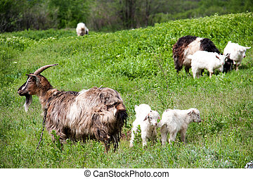goatlings with goat are grazing on grass in the village
