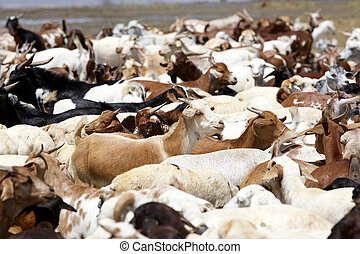 Goats along the shore of the african lake