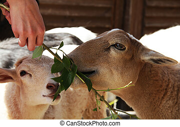 Goats and sheep eating