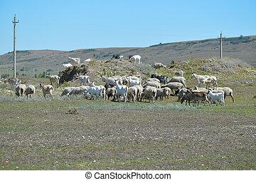 Goats and sheep grazing freely on pasture and at higher ...
