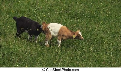 Goats are grazing in the meadow