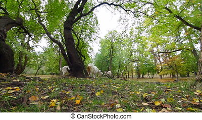 Goats at autumn park