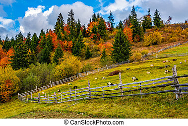 goats behind the wooden fence - beautiful deep autumn...