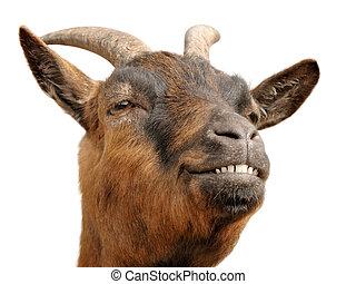 goat?s, brun, sourire, mignon