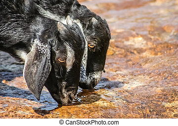 Goats Drinking Water