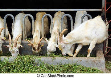 goats eating grass on farm