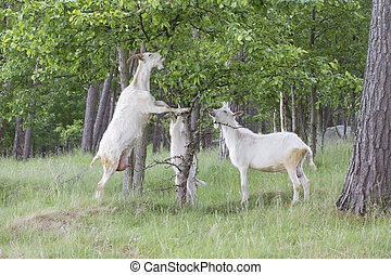 Goats family are eating