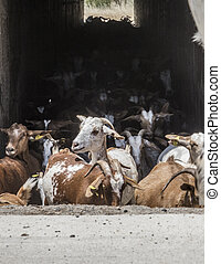 Goats flock crossing a tunnel under road. Walkway point for cattle