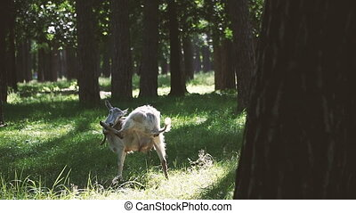 Goats. Goats graze in the woods