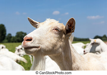 goats play and eat on the meadow