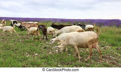 Goats graze in a meadow - Herd of goats grazes on a green...